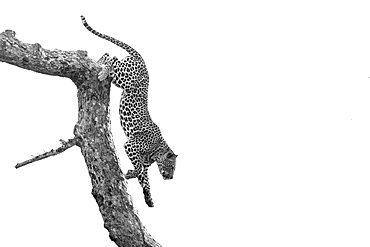 A leopard, Panthera pardus, climbs down a tree branch, black and white, whited out background, Londolozi Wildlife Reserve, Greater Kruger National Park, South Africa