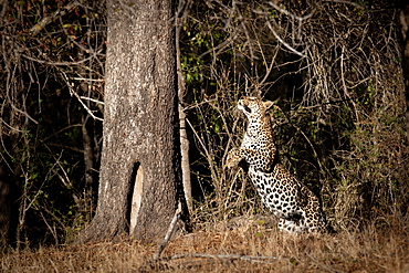 A leopard, Panthera pardus, jumps up towards a tree trunk, front legs raised, looking up, Londolozi Wildlife Reserve, Greater Kruger National Park, South Africa
