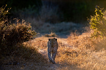 A male leopard, Panthera pardus, walks towards the camera, backlit, paw raised, Londolozi Wildlife Reserve, Greater Kruger National Park, South Africa