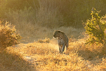 A leopard, Panthera pardus, walks through short grass, backlit, looking out of frame