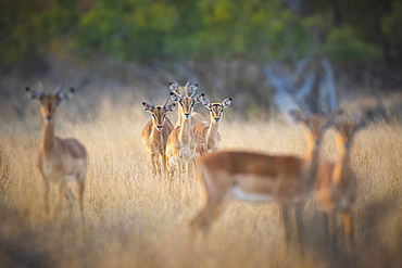 A herd of impalas, Aepyceros melampus, stand in dry yellow grass, direct gaze, Londolozi Wildlife Reserve, Greater Kruger National Park, South Africa