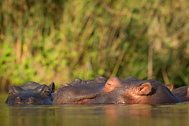 A hippo, Hippopotamus amphibius, raises its head above the water and closes its eyes in the sun, Londolozi Wildlife Reserve, Greater Kruger National Park, South Africa