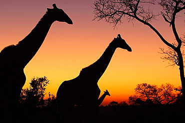 Silhouette of three giraffe, Giraffa camelopardalis giraffa, against a pink and yellow sunset, Londolozi Wildlife Reserve, Greater Kruger National Park, South Africa
