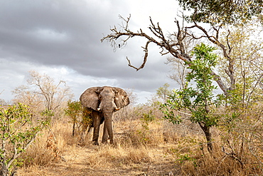 An elephant, Loxodonta africana, stands in dry grass, storm clouds in the sky, Londolozi Wildlife Reserve, Greater Kruger National Park, South Africa