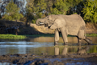 An elephant, Loxodonta africana, stands in a water hole and drinks, trunk to mouth, side profile, Londolozi Wildlife Reserve, Greater Kruger National Park, South Africa