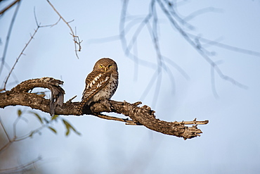 A barred owl sits on a branch, Strix varia, direct gaze, blue sky background, Londolozi Wildlife Reserve, Greater Kruger National Park, South Africa