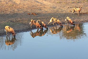 A pack of wild dogs, Lycaonᅠpictus, covered in blood, drinking at water hole, Londolozi Wildlife Reserve, Greater Kruger National Park, South Africa