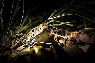 A python, Python sebae, peers its head out of some dry leaves, lit up by a spotlight, Londolozi Wildlife Reserve, Greater Kruger National Park, South Africa