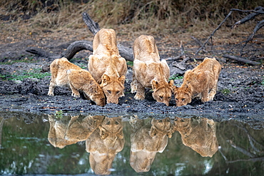A pride of lions, Panthera leo, drink at a waterhole simaltaneously, reflections in the water, Londolozi Wildlife Reserve, Greater Kruger National Park, South Africa