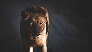 A lioness, Panthera leo, stands in dappled light and shadow, Londolozi Wildlife Reserve, Greater Kruger National Park, South Africa