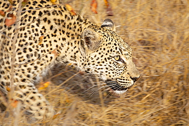 A leopard, Panthera pardus, walks through long dry grass, motion blur, looking out of frame, Londolozi Wildlife Reserve, Greater Kruger National Park, South Africa