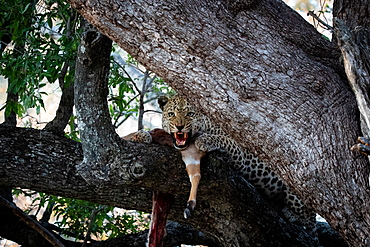 A leopard, Panthera pardus, snarls while in a tree with its kill, direct gaze, Londolozi Wildlife Reserve, Greater Kruger National Park, South Africa