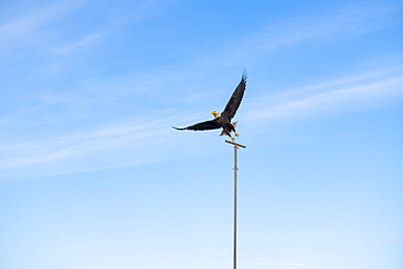 Bald eagle (Haliaeetus leucocephalus) perched on a post against blue sky, Pacific County, Washington, United States of America