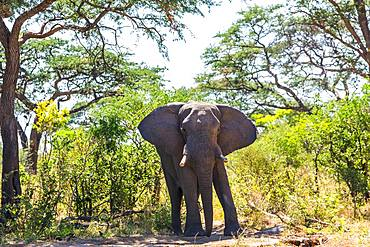 African elephant standing on dirt track in the Chobe National Park, Botswana