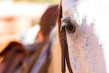 Close up of white horses head and eye, British Columbia, Canada, British Columbia, Canada
