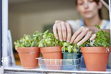 Woman picking home-grown herbs growing on windowsill