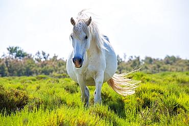 White horse in marshland, The Camargue, France