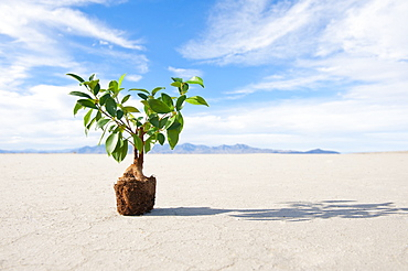 Plant with root ball on salt flat