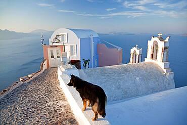 Dog in the village of Oia Santorini Cyclades islands, Greece