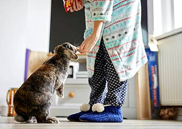 Woman feeding treats to pet house rabbit indoors, Bristol, United Kingdom