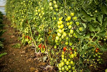 High angle close up of green and ripe tomatoes on the vine, Oxfordshire, United Kingdom