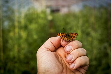 Close up of Comma butterfly on human hand, Oxfordshire, United Kingdom