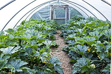 Rows of courgette plants growing in a poly tunnel, Oxfordshire, United Kingdom