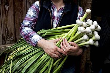 Close up of farmer holding bunch of freshly picked garlic, Oxfordshire, United Kingdom