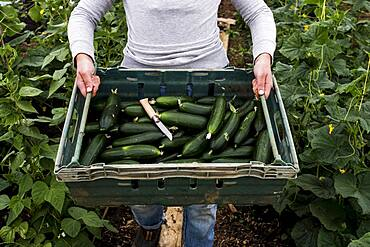 Woman standing in a poly tunnel, holding crate with freshly picked courgettes, Oxfordshire, United Kingdom