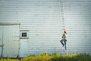 A man climbing a ladder propped against a clapboard barn or farm building, New York state, USA
