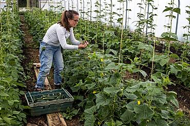 Woman standing in a poly tunnel, picking courgettes, Oxfordshire, United Kingdom