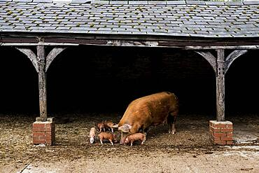 Tamworth sow with her piglets in an open barn on a farm, Oxfordshire, United Kingdom