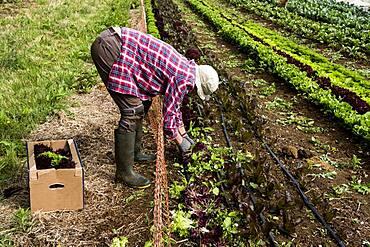 Man harvesting salad leaves on a farm, Oxfordshire, United Kingdom