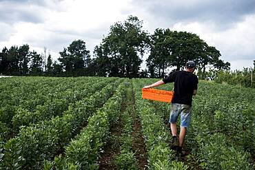 Man walking through a vegetable field, carrying orange plastic crate, Oxfordshire, United Kingdom