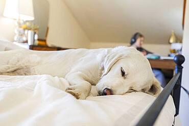 Golden Retriever sleeping on bed as teenage girl is working in office space