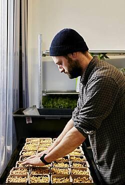 Man tending trays of pea seeds in urban farm