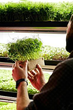 Man holding tray of pea microgreens seedlings in urban farm