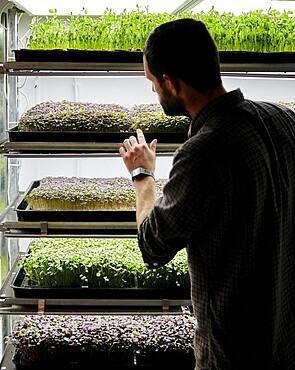 Trays of microgreens seedlings growing in urban farm