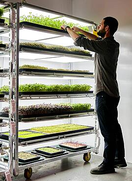 Man trays of microgreens seedlings growing in urban farm