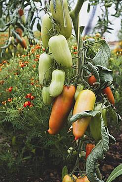 Close up of Roma tomatoes growing on a vine.