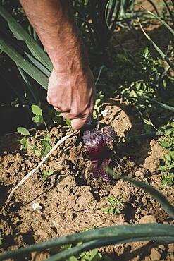High angle close up of farmer harvesting red onion.