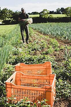 Farmer walking in a field, carrying freshly picked spring onions.