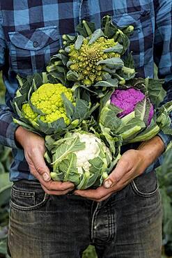 Farmer in a field of harvested cauliflowers