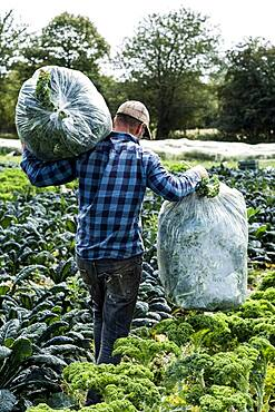 Farmer in a field with large plastic bags of curly kale.