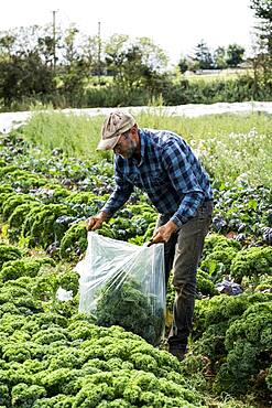 Farmer standing in a field, picking curly kale.