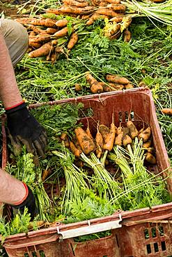 Farmer packing bunches of freshly picked carrots