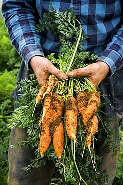 Farmer harvesting fresh carrots.