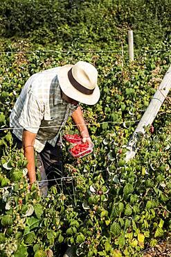 Farmer with punnet of fresh raspberries.