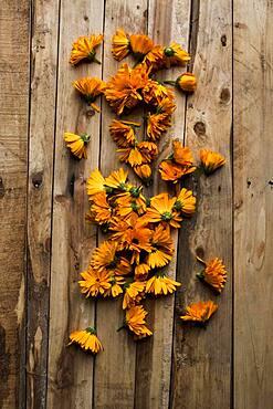 High angle close up on edible orange Calendula flowers