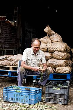 Farmer packing freshly picked spring onions into crates.